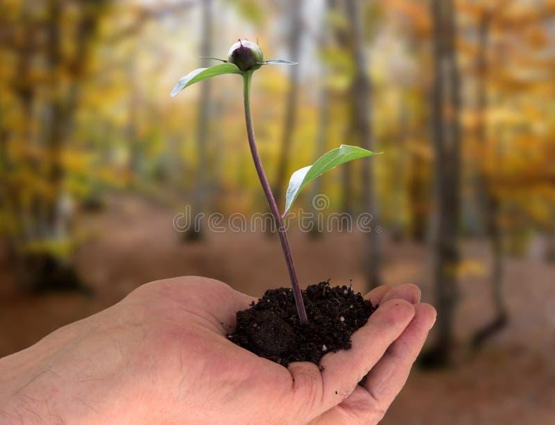 有年幼植物的手在森林里 免版税图库摄影