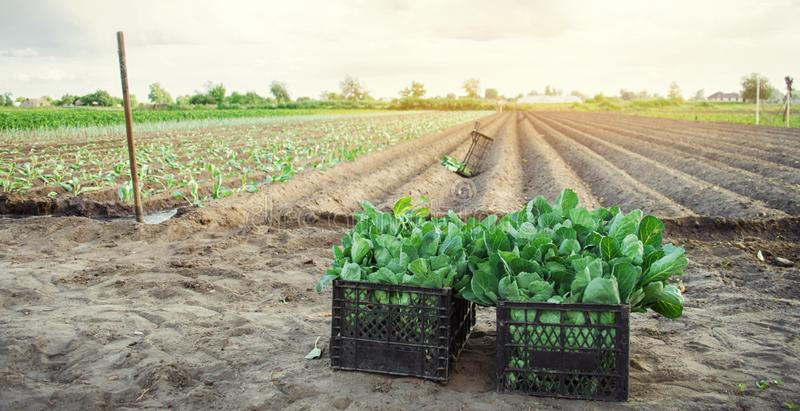 有年轻圆白菜幼木的箱子在领域 环境友好的产品 r 农业和种田 免版税库存图片