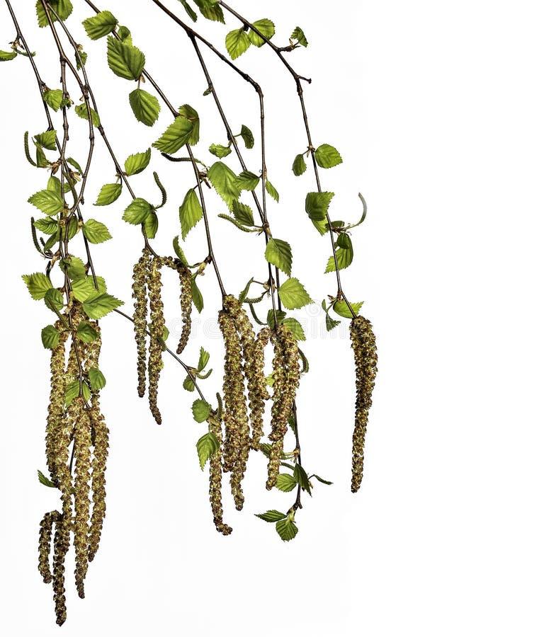 有年轻在白色背景隔绝的春天叶子和种子的桦树枝杈 图库摄影