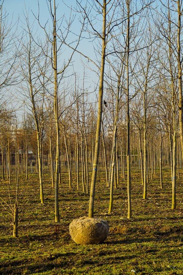 有年轻树的苗圃场与在运输前的根大包 库存照片