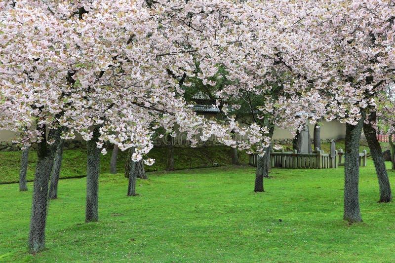 有庄严地开花的樱桃树的春天庭院在绿色草坪 免版税图库摄影