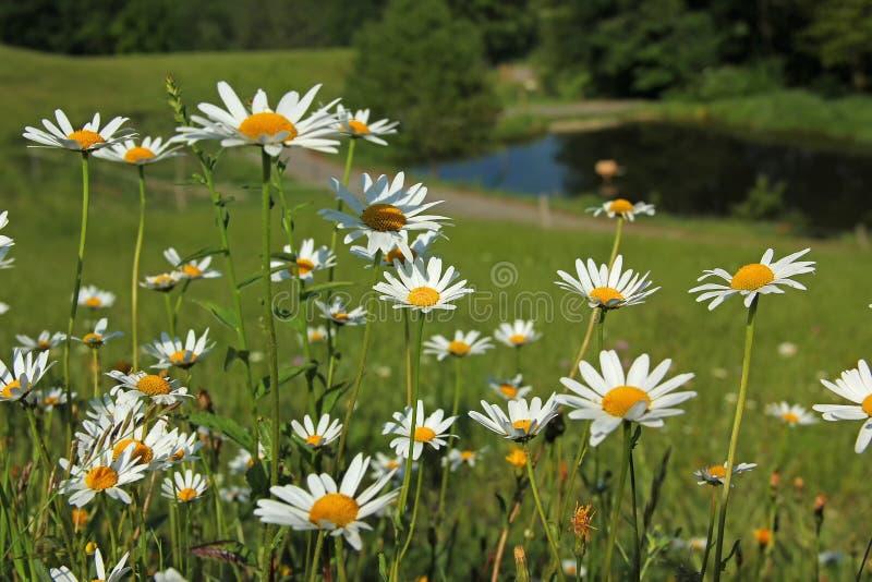 有延命菊的草甸,与池塘的模糊的背景 免版税库存照片