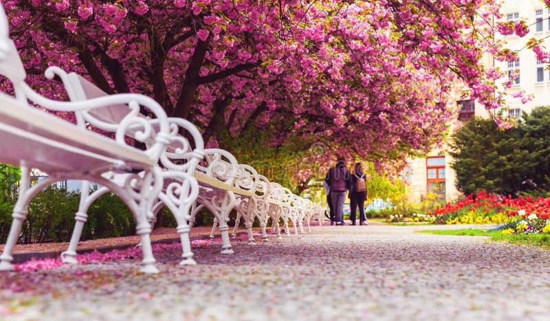 有开花佐仓和长凳的空的公园 免版税图库摄影