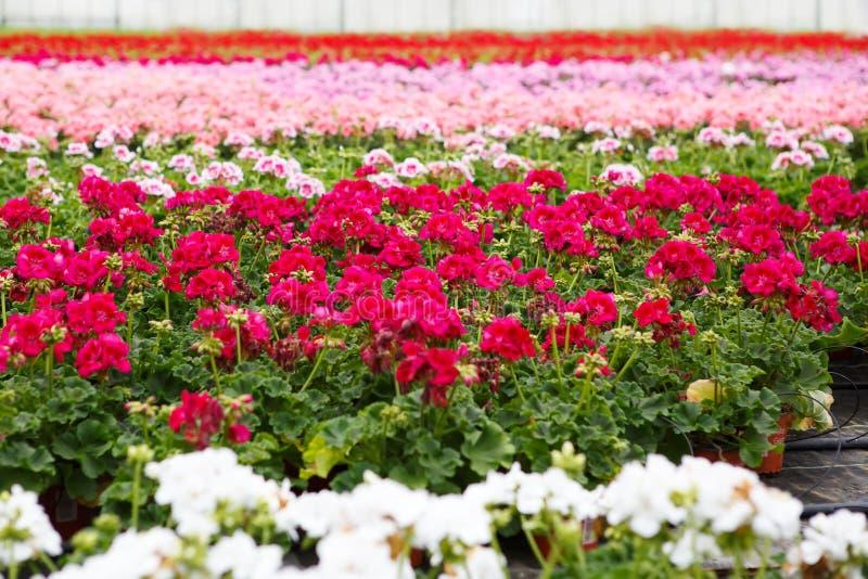 有开花的大竺葵花的温室 免版税库存图片