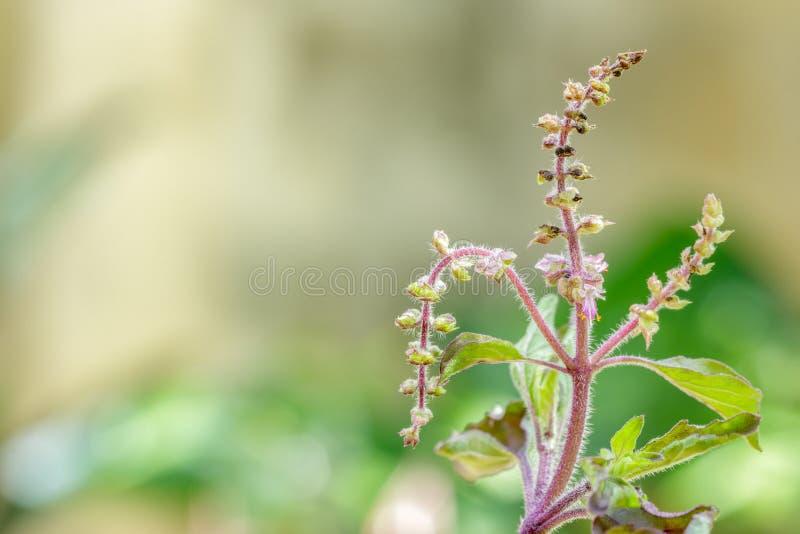 有开花的罗勒属密室在庭院,圣洁蓬蒿里 库存图片
