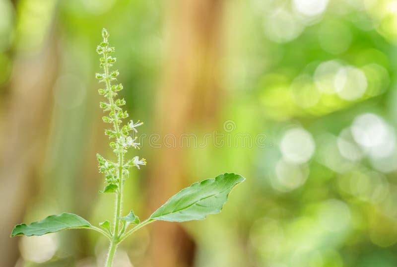 有开花的罗勒属密室在庭院,圣洁蓬蒿里 库存照片