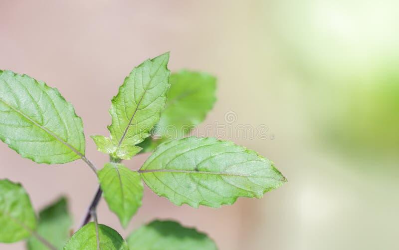 有开花的罗勒属密室在庭院,圣洁蓬蒿里 免版税库存图片