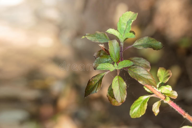 有开花的罗勒属密室在庭院,圣洁蓬蒿里 免版税库存照片