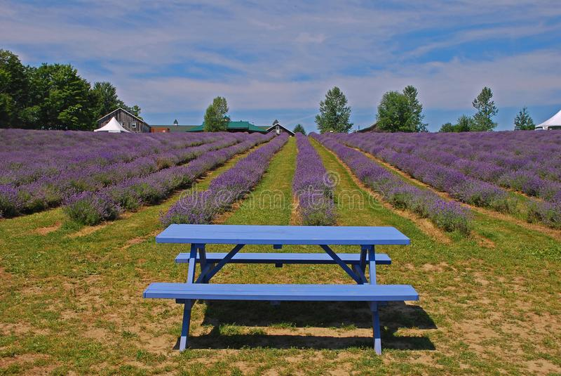 有开花的花和一条蓝色长凳行的淡紫色农场  库存图片