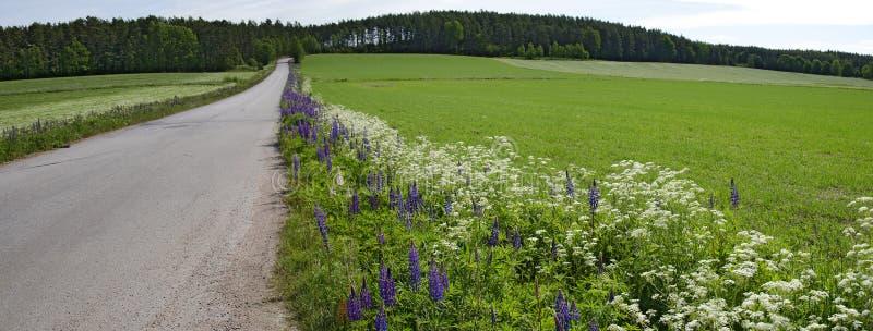 有开花的蓝色羽扇豆的路 免版税库存图片