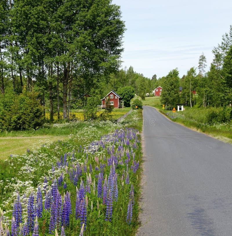 有开花的蓝色羽扇豆的路 免版税库存照片