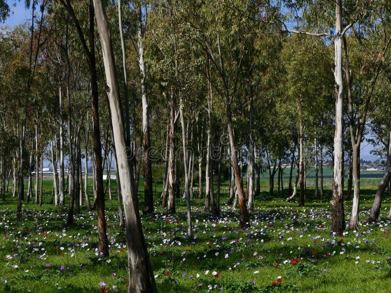 有开花的银莲花属的玉树树丛 免版税库存照片