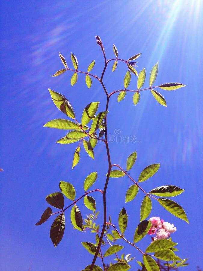 有强的太阳和蓝天的一棵植物 免版税库存照片
