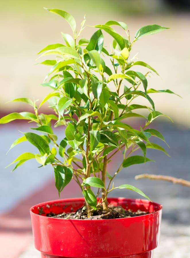 有很多叶子的绿色植物在一个红色罐 免版税库存照片