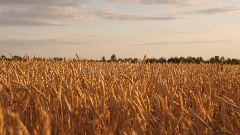 有成熟五谷摇动的美丽的耳朵在风 反对天空的成熟谷物收获 与云彩的美丽的天空在乡下 库存例证