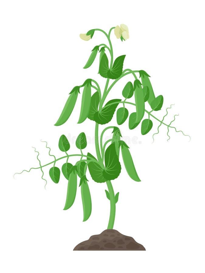 有成熟豌豆荚和花卉生长的豌豆植物在白色背景隔绝的地面传染媒介例证 皇族释放例证