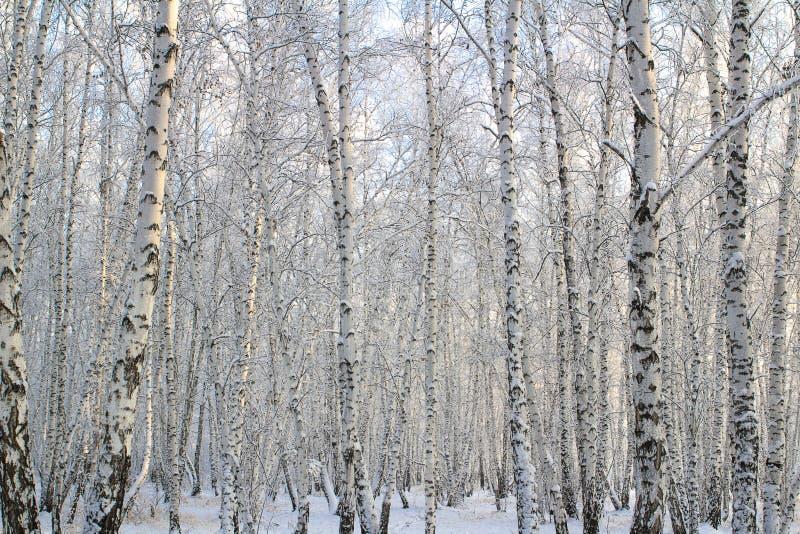 有报道的雪分支的桦树森林 免版税库存图片