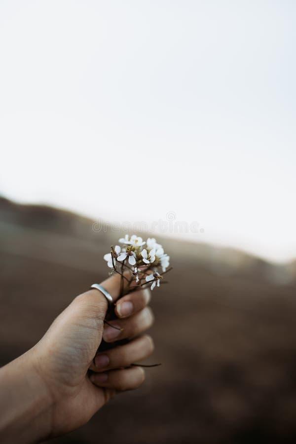 有捉住狂放的白花的圆环的妇女手在日落在春天 图库摄影
