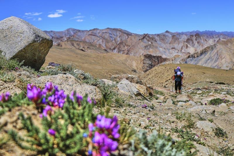 有攀登与美丽的喜马拉雅山的背包的妇女陡坡在背景和花在前景,拉达克,印度中 图库摄影