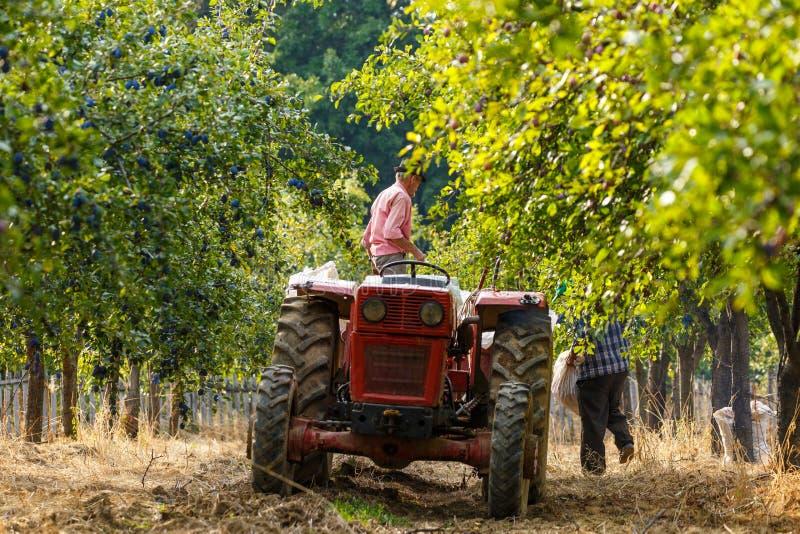 有收获李子的拖拉机的老农夫 免版税库存照片