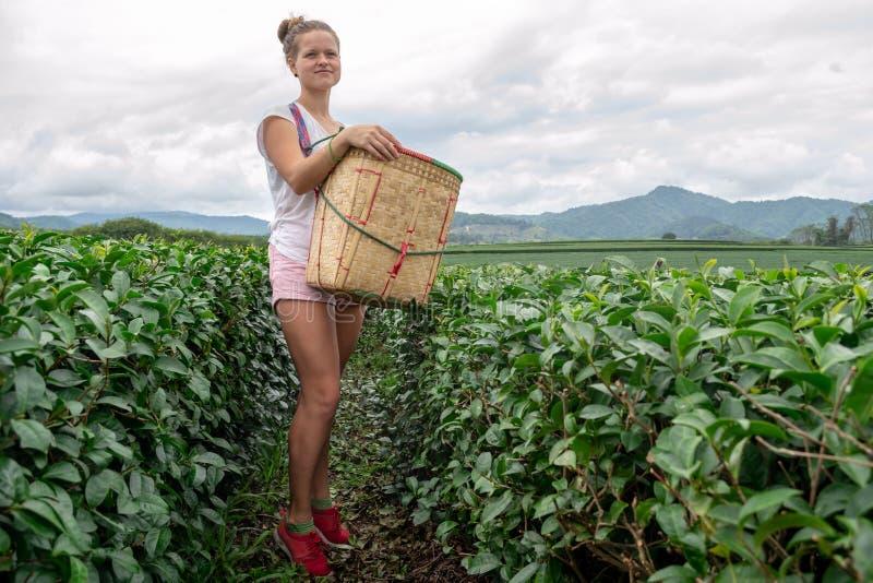 有收获篮子的年轻亭亭玉立的美女在茶领域 库存照片