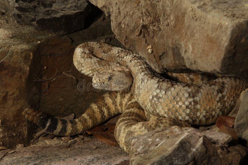 有斑点的响尾蛇-响尾蛇mitchelli 库存照片