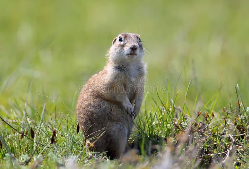 有斑点的地松鼠在地面站立 免版税库存图片