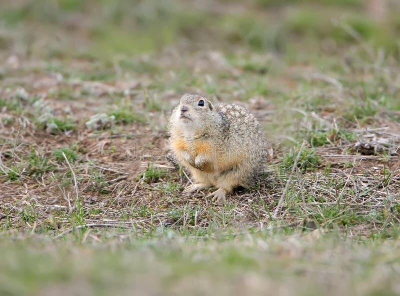 有斑点的地松鼠或被察觉的souslik地面松鼠类suslicus在地面上 免版税库存照片