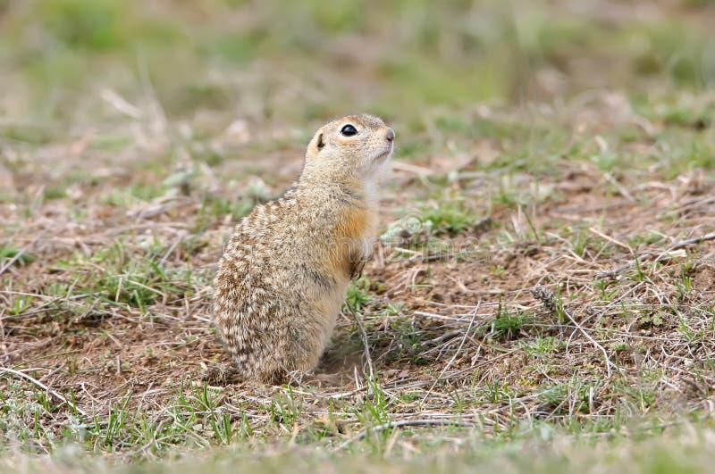 有斑点的地松鼠或被察觉的souslik地面松鼠类suslicus 免版税库存照片