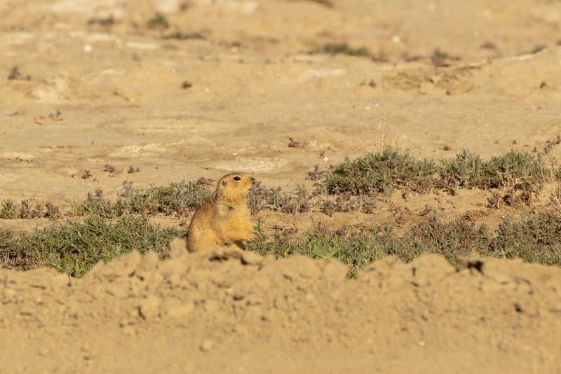 有斑点的地松鼠 地面松鼠类suslicus 野生动物在春天 免版税库存图片