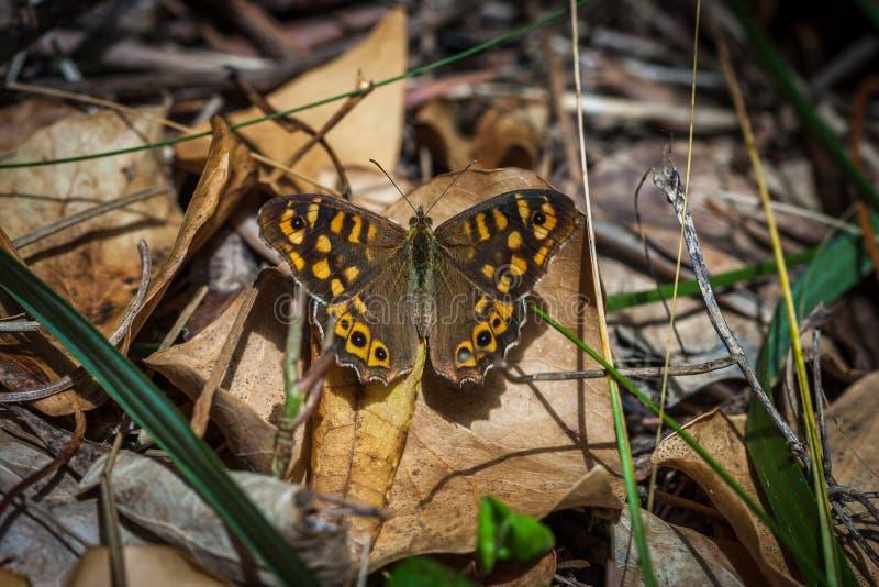 有斑点的木蝴蝶坐地面 库存照片