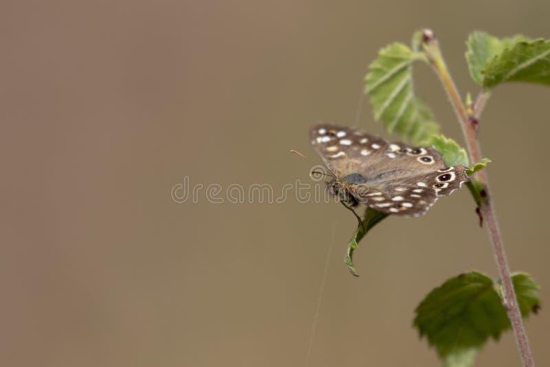 有斑点的木蝴蝶, Pararge aegeria,栖息在一片蕨和桦树叶子在森林地,威严,苏格兰 库存图片