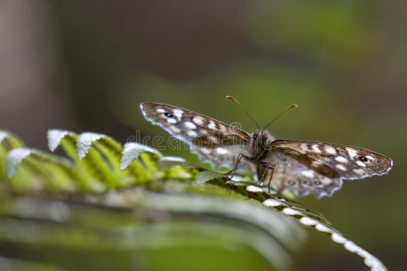 有斑点的木蝴蝶, Pararge aegeria,栖息在一片蕨和桦树叶子在森林地,威严,苏格兰 库存照片