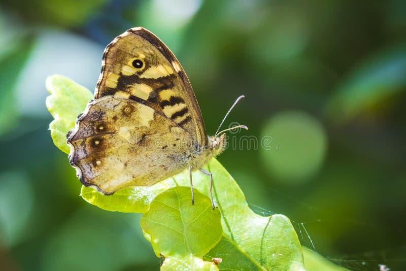 有斑点的木蝴蝶Pararge aegeria侧视图 免版税图库摄影