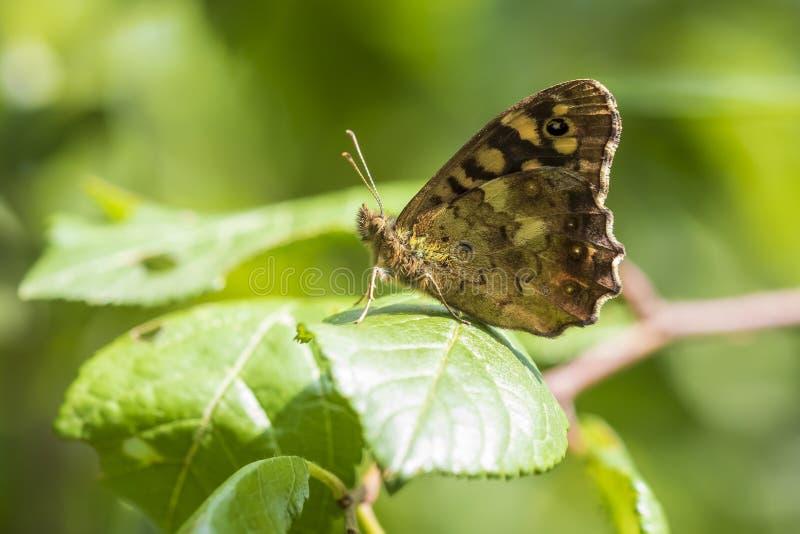 有斑点的木蝴蝶Pararge aegeria侧视图 免版税库存照片