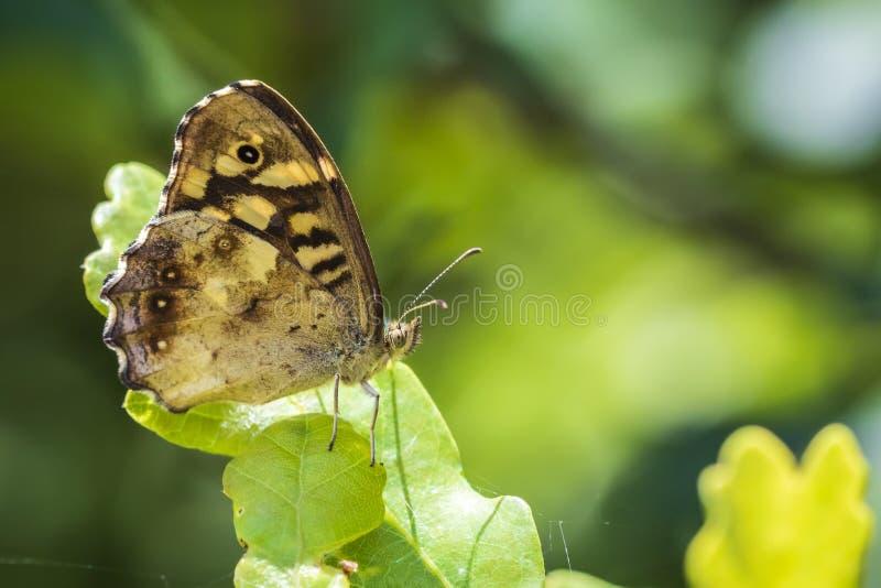 有斑点的木蝴蝶Pararge aegeria侧视图 图库摄影
