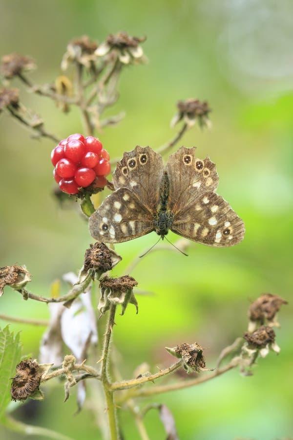 有斑点的木蝴蝶Pararge aegeria顶视图 库存图片
