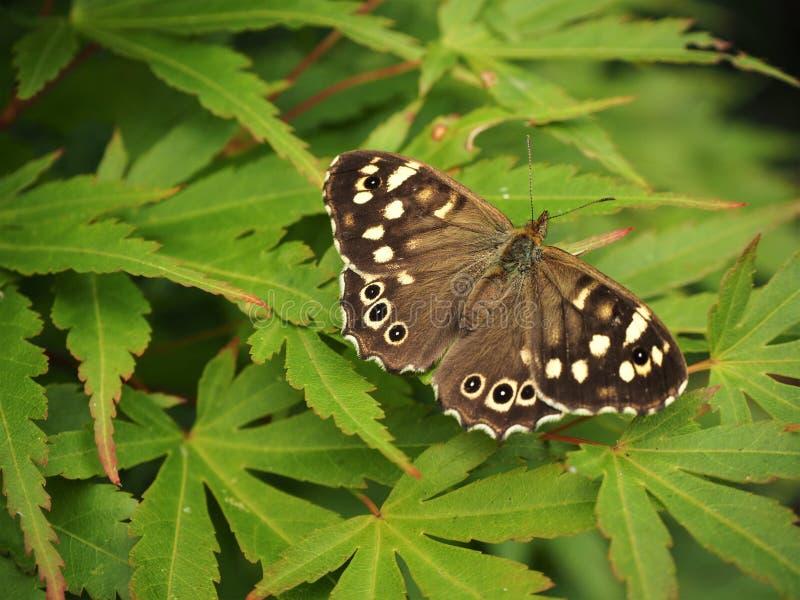 有斑点的木蝴蝶Pararge aegeria 免版税库存图片
