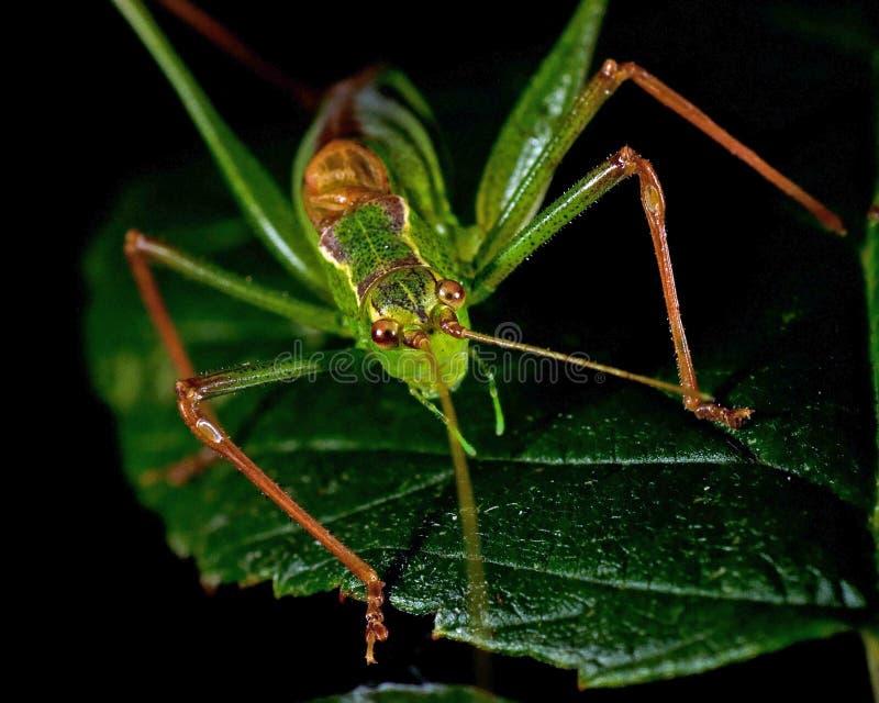 有斑点的灌木蟋蟀, Leptophyes punctatissima 免版税库存照片