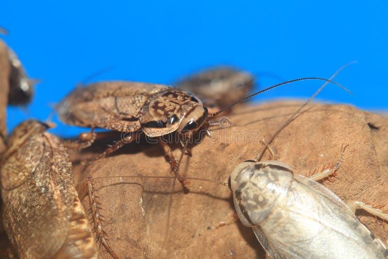有斑点的蟑螂 库存照片