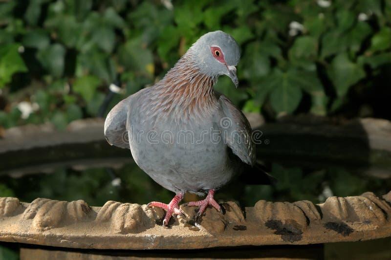 有斑点的鸽子 库存照片