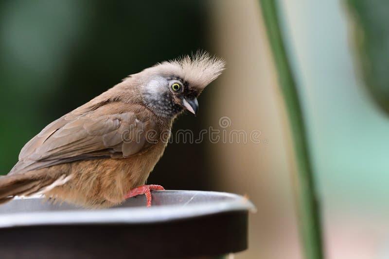 有斑点的mousebird colius striatus 库存照片