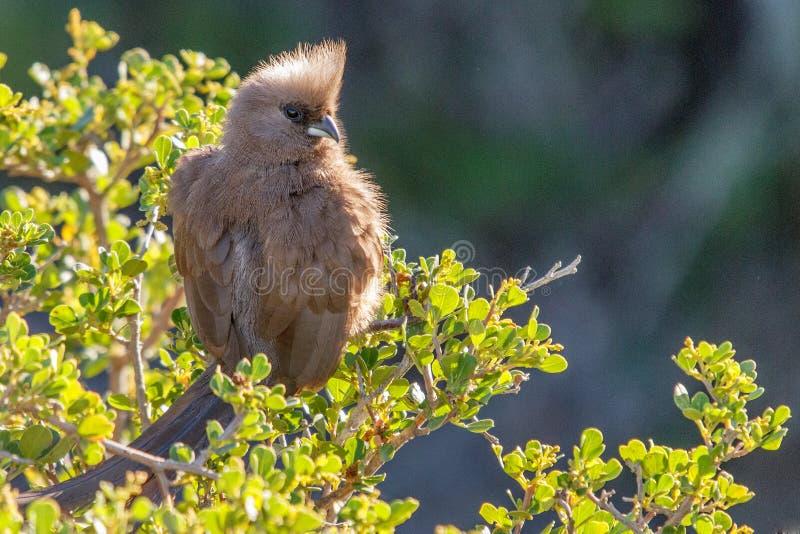 有斑点的Mousebird Colius striatus 库存图片