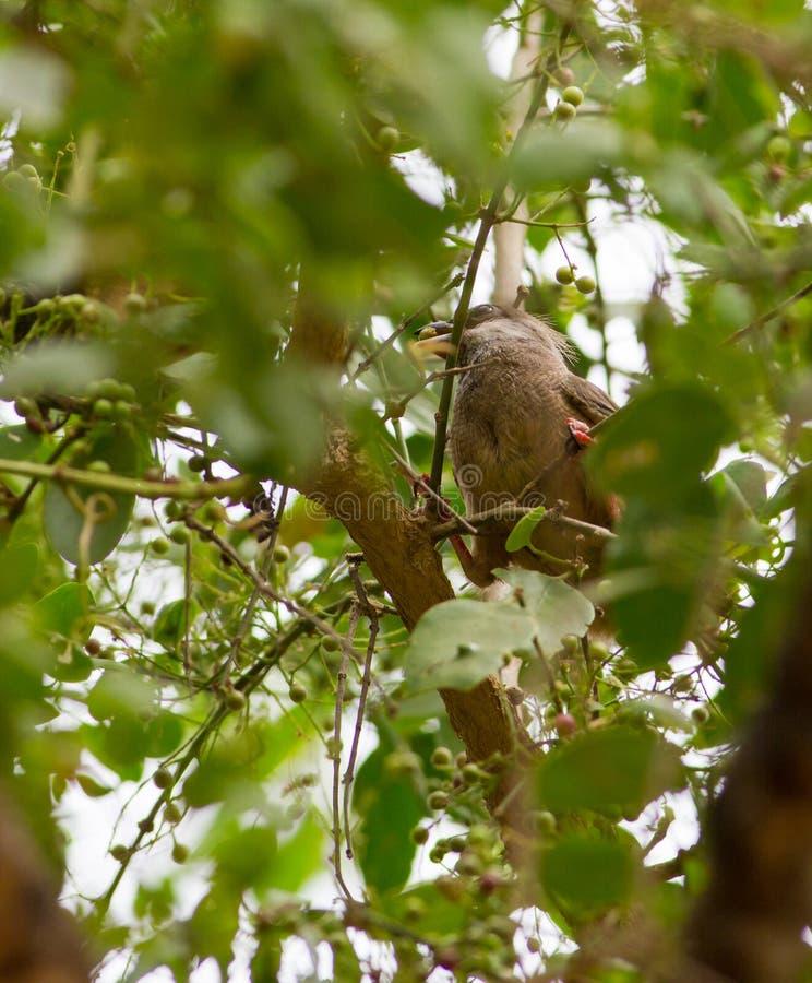 有斑点Mousebird哺养 库存照片