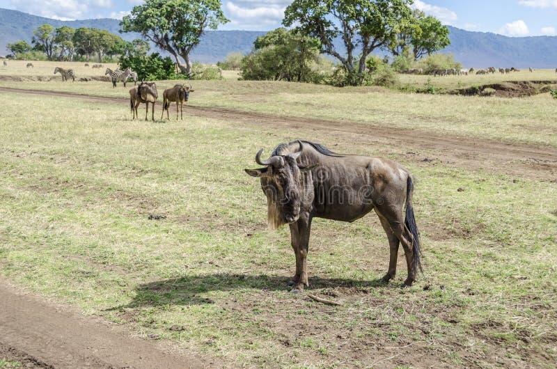 有斑牛羚 库存图片