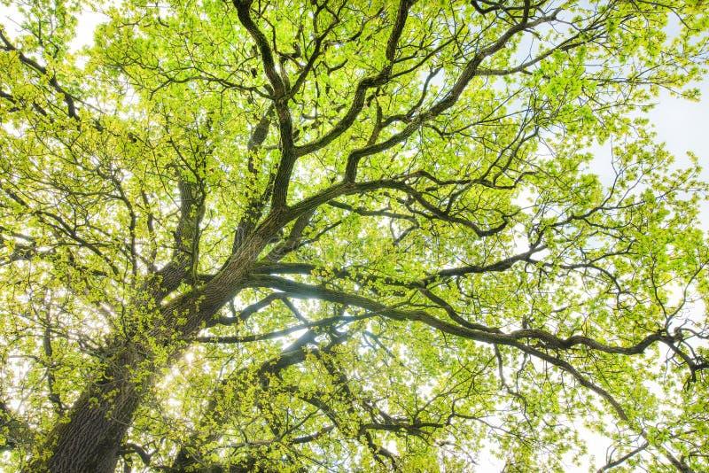 有新鲜的春天绿色叶子的橡树冠 库存照片