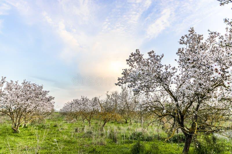 有日落美丽如画的天空的扁桃树丛 免版税库存照片