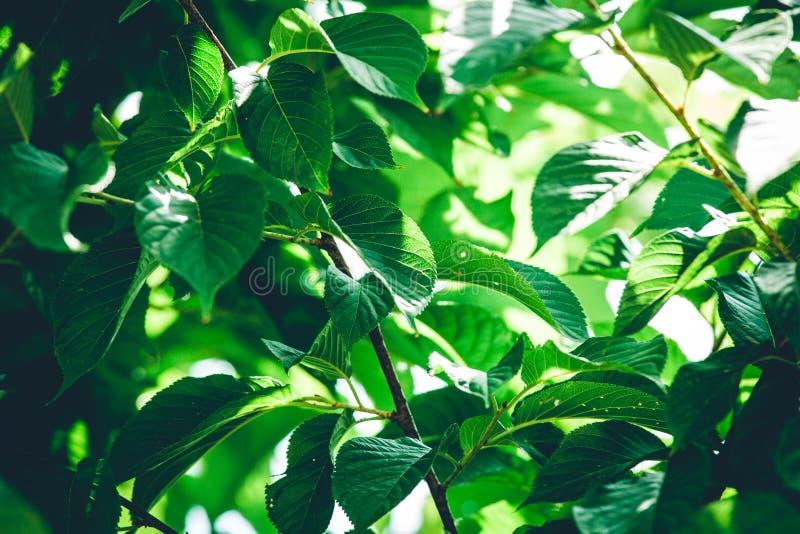有早晨光的绿色叶子 免版税图库摄影