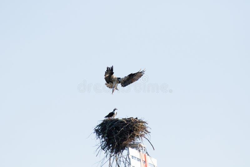有时叫作海运鹰(Pandion haliaetus)的白鹭的羽毛,鱼鹰或鹗,是昼夜的,鱼吃鸷 图库摄影