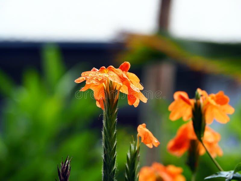 有明亮的橙色花的Crossandra福尔图纳植物在热带苏里南南美洲 库存照片